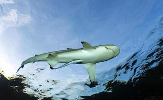 tiburón de arrecife blac / carcharhinus melanoptã © rus foto