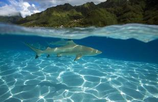BLACKTIP REEF SHARK / carcharhinus melanoptérus