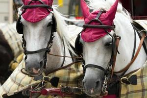 las cabezas de dos caballos para paseos por la ciudad de viena