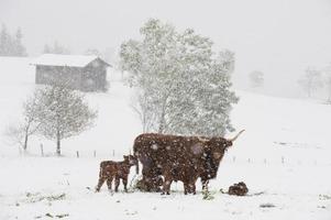 Austria, Salzburgo, Altenmarkt-Zauchensee, ganado de las tierras altas de pie en la nieve foto