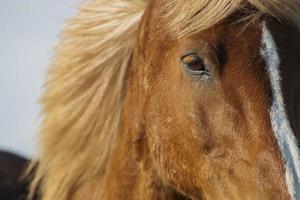 caballo marrón islandés