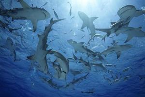 nã © gaprion brevirostris / groupe de requin citron photo