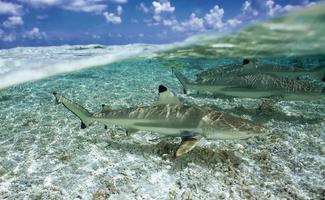 tiburón punta negra de arrecife / carcharhinus melanoptã © rus foto