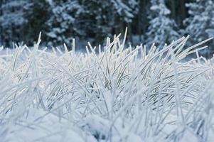 Austria, Salzburgo, briznas de hierba cubiertas de nieve