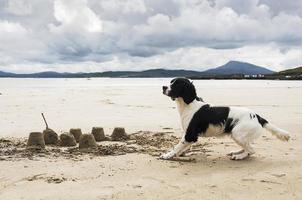 Spaniel dog playing on Donegal, Ireland beach photo