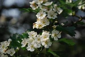 Blossoms of the Hawthorn Tree photo