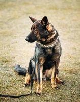perro pastor alemán de cerca foto