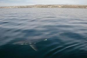 Great white shark (Carcharodon carcharias) photo