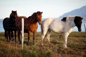 Raza de caballo islandés, península de Snaefellsness, Islandia