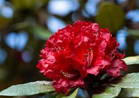 Red flower at Kew Mae Pan, Thailand