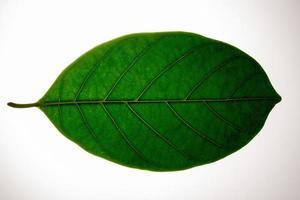 Green leaf on white background photo