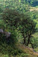 Trees at Kew Mae Pan, Thailand photo