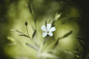 flor blanca pelada