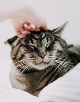 Person petting a silver tabby cat