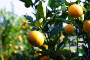 Tree kumquat - Tet Vietnam photo