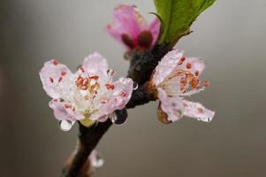 Wet plum blossoms photo
