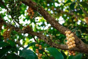 Primer plano de frutas longkong en el árbol