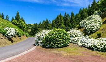 Road with hortensia's, Azores, Portugal, Europe