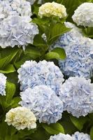 Blue and yellow hydrangeas with green leaves. Azores. Portugal