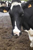 detalhe da cabeça da vaca registrada no campo. Açores. Portugal