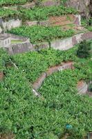 Banana plantations in camara de  lobos Madeira island, Portugal