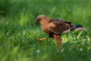 Marsh harrier male,going all over the meadow photo