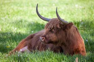 Scottish highland cow over green grass
