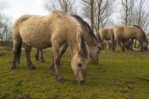 Herd of horses in nature in spring photo