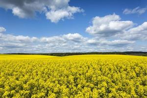 Oilseed Rape Flowers Field Canola On Sunny Day