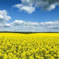 Field of rapeseed yellow flowers on sunny summer day