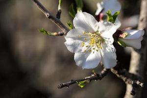 White Almond flower macro
