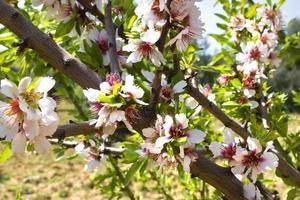 Almond blossoms photo