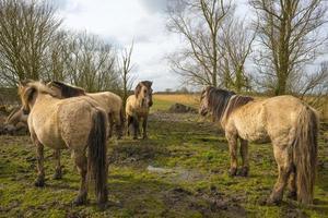 Herd of horses walking in nature in spring photo