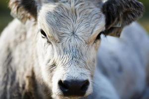 Portrait of Ox