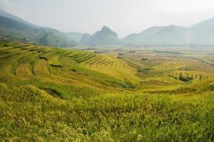 Golden rice field in Vietnam. photo
