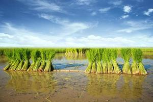 Seedlings of rice agriculture photo