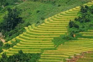 campos de arroz en terrazas en vietnam foto