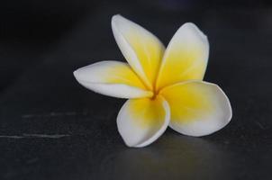Delicate flower of Frangipani or Plumeria, Hoi An, Vietnam photo