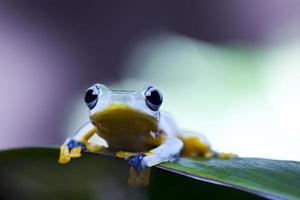 rana de árbol foto