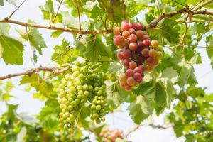 Branch of grapes on vine in vineyard