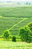 Tea plantations in Thailand.