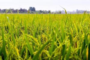 campo de arroz temprano en la mañana