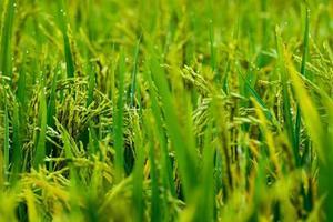 campo de arroz vietnamita en la mañana