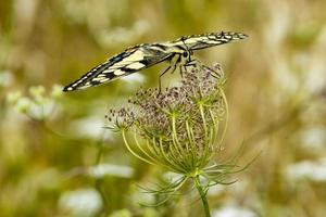 Swallowtail photo