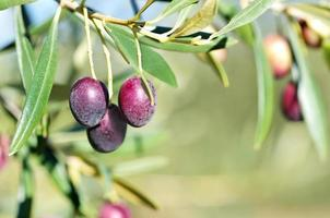 ripe olives tree on branch photo