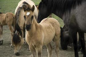 mustangs de sorraia en el santuario de caballos salvajes de las colinas negras