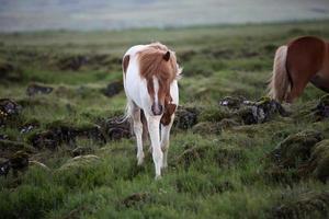 cavalo islandês