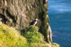 papagaio-do-mar atlântico na Islândia ocidental