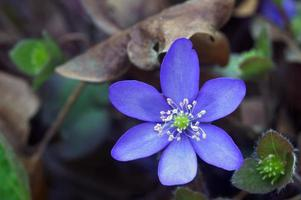 Spring Hepatica flower photo