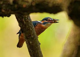 Kingfisher with fish in the beak